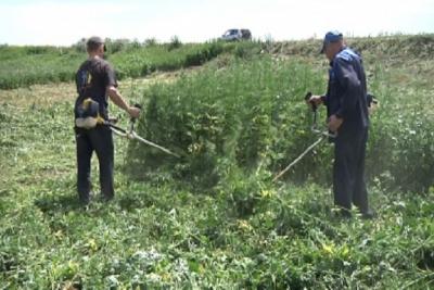 В Первомайском районе пенсионерка выращивала мак в огороде