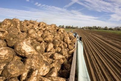 Тамбовские аграрии собрали больше 4 млн тонн сахарной свеклы