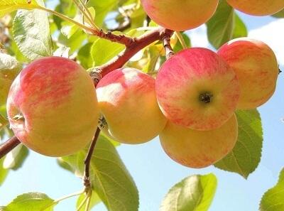 Тамбовские садоводы собрали уже три тысячи тонн яблок
