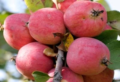 160 лет Ивану Мичурину Мичуринск отметит «яблочным» конкурсом