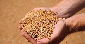В Тамбовской области собрали почти 4 миллиона тонн зерна
