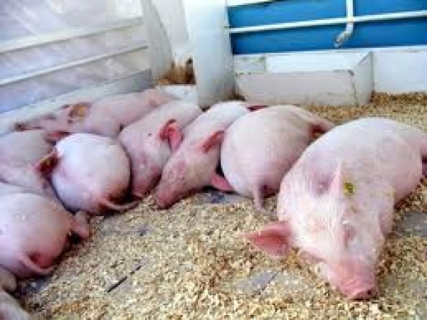 В Воронежской области обнаружен очаг африканской чумы у свиней, а что у нас? Ответ даст проверка